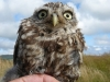 A Little Owl found near Aberdaron