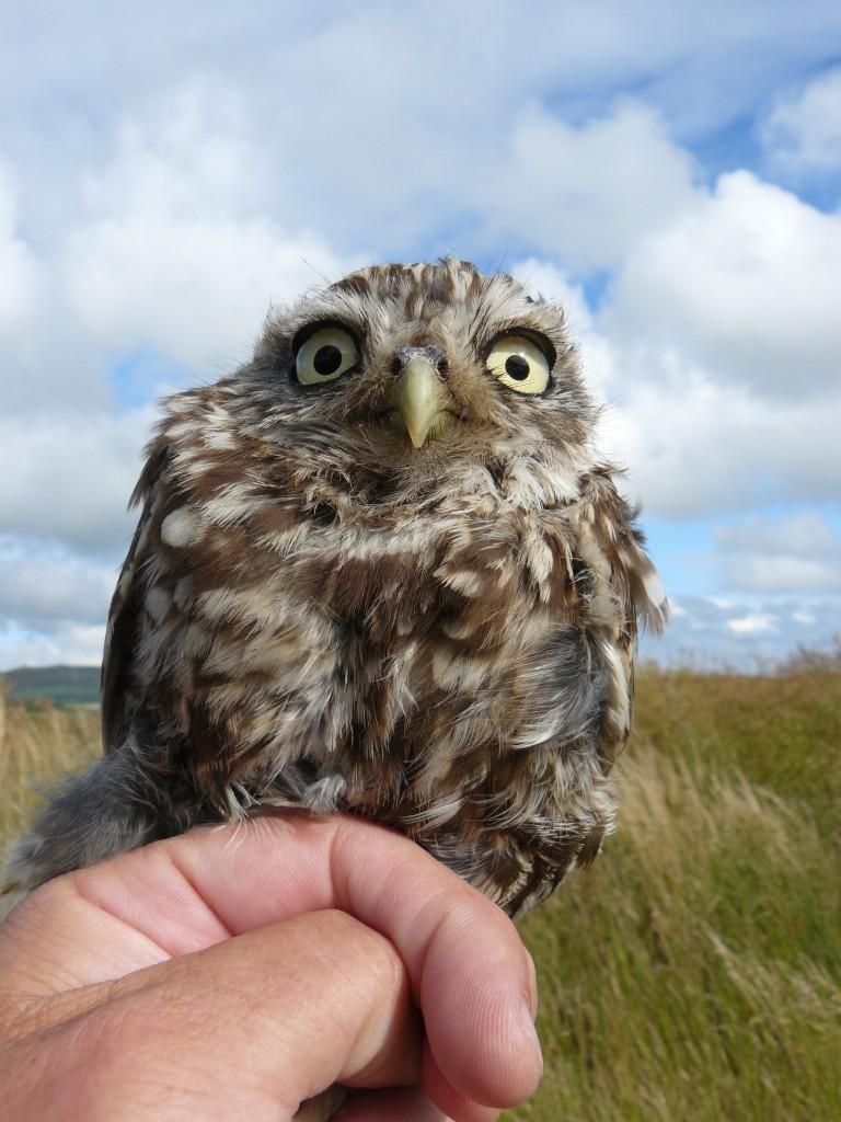 Little Owl seen at Aberdaron near the Ty-Newydd